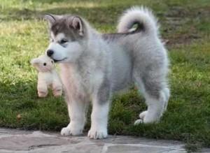 хаски и маламут собак фото породы